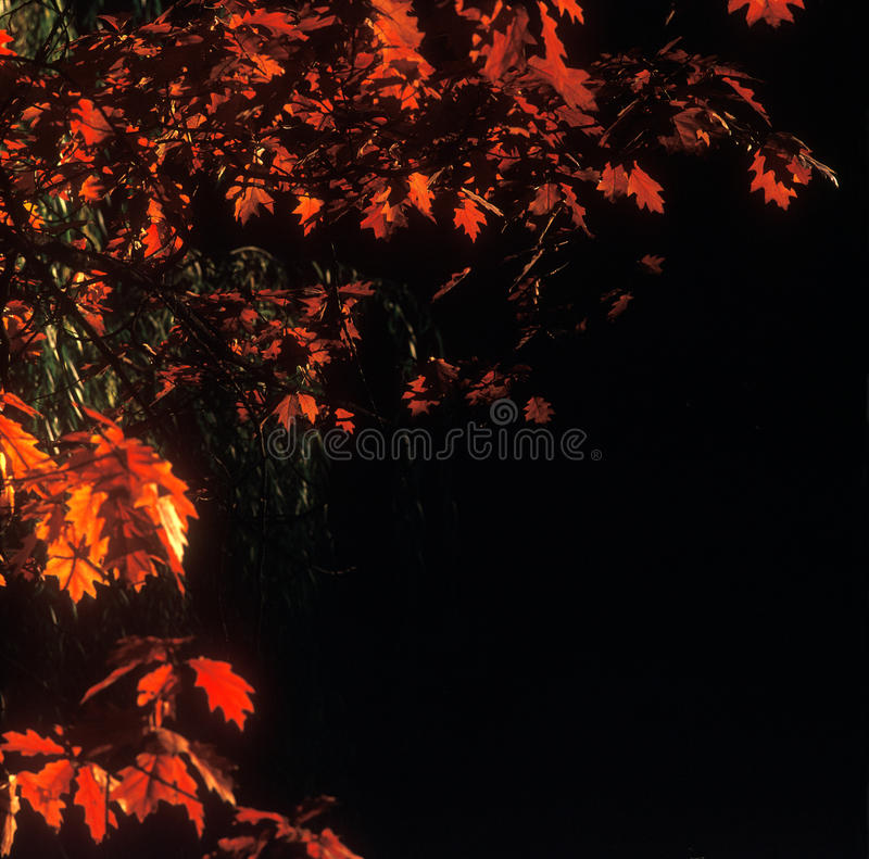 Download Red and black. stock photo. Image of scenics, leaves - 20367914