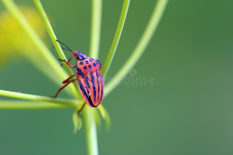 Red and black bug on green stalk stock image