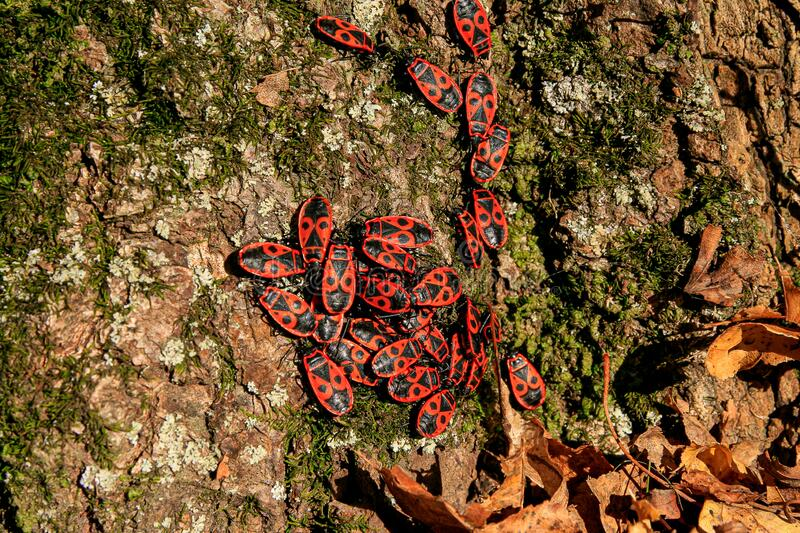 Red and black bugs on a tree bark. Red and black bugs in a group on a mossy tree bark in autumn royalty free stock images