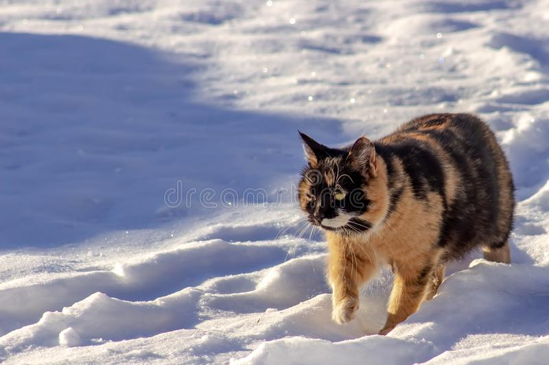 Red-black cat is walking in the snow. stock images