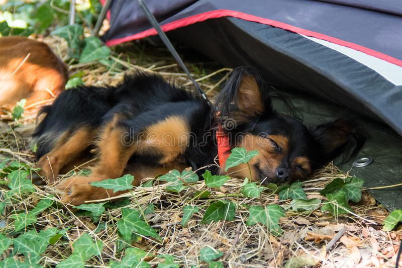 Red and black haired puppy sleeps in a grass. A small dog is resting in the park. Long-haired Russian Toy Terrier royalty free stock photos