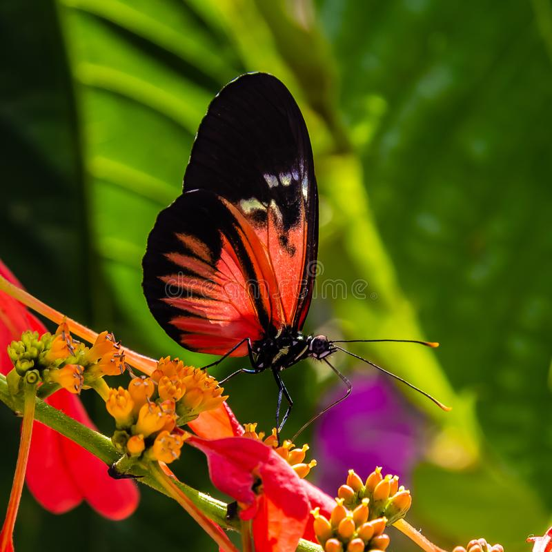 Red and black Heliconius longwing butterfly feeding on yellow flower. Red and black longwing butterfly feeding on yellow plant/flower photographed at the royalty free stock image