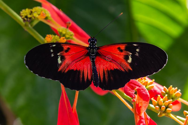 Red and black Heliconius longwing butterfly feeding on yellow flower. Red and black longwing butterfly feeding on yellow plant/flower photographed at the royalty free stock photo