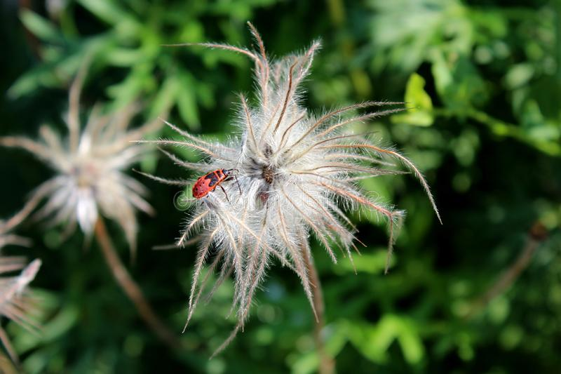 Red and black insect bug on top of strange white hairy flower planted in local garden surrounded with green leaves and other. Plants in background on warm sunny royalty free stock photos
