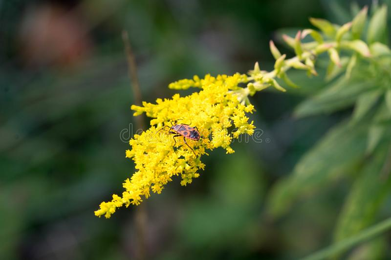 Red-black insect on a yellow flower. royalty free stock photos