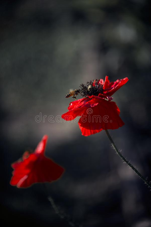 Impression of a red fragrance. Poppy, gentle movements in the breeze. Delicate, red in the garden area. Poppy, textured front. stock photography