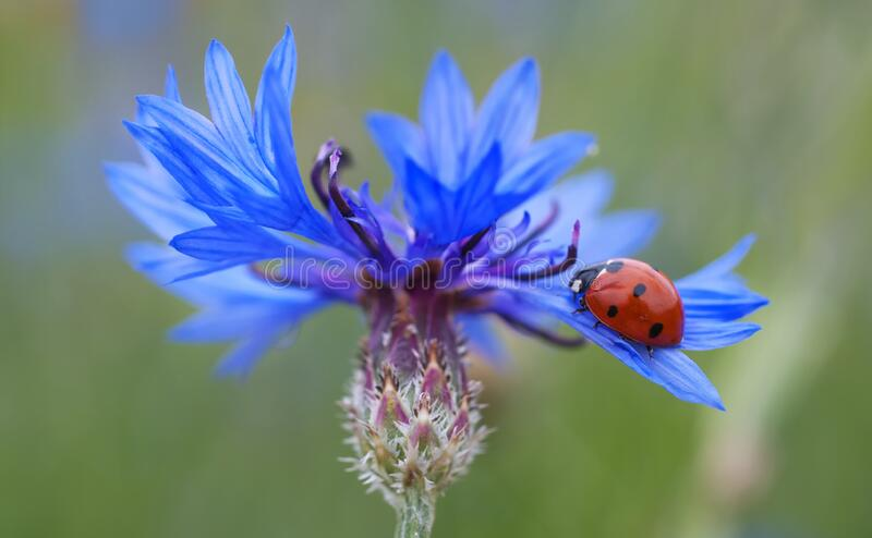 Red And Black Lady Bug On Purple Flower During Daytime Free Public Domain Cc0 Image