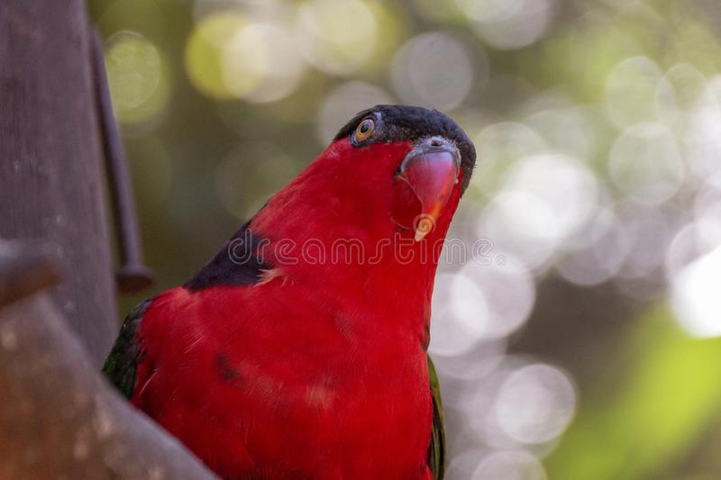 A Red And black Lorikeet royalty free stock photos