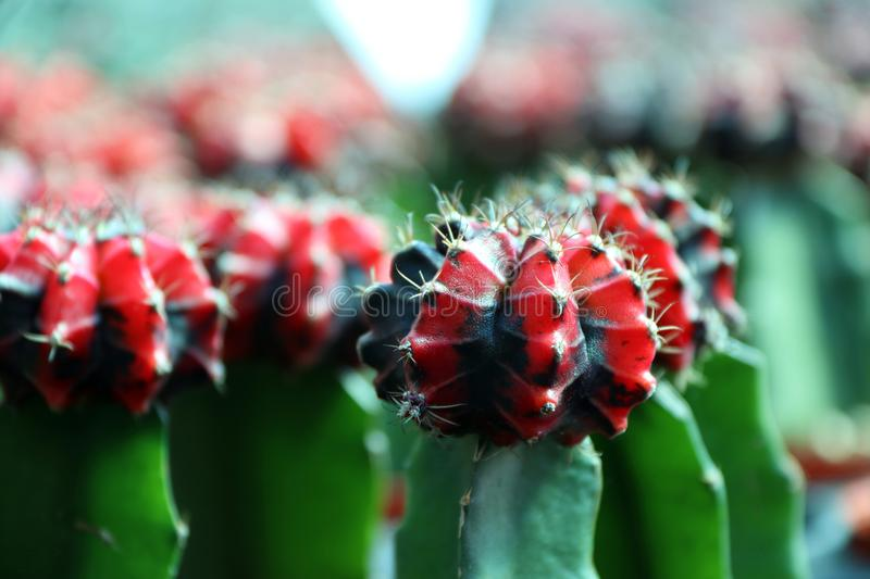 Red and black Moon Cactus on the green Cactus, Gymnocalycium mihanovichii. stock images
