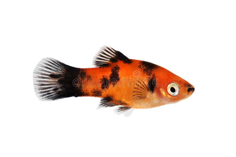Red black platy male xiphophorus maculatus tropical for Fish and pets unlimited