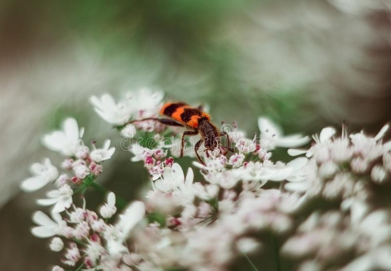 A red black striped fluffy beetle sits on a white flower on a green blurred background. Trichodes or bee beetle royalty free stock image