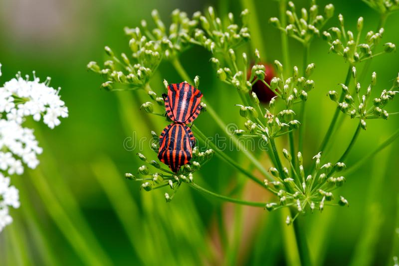 Red and black striped stink bug royalty free stock photos