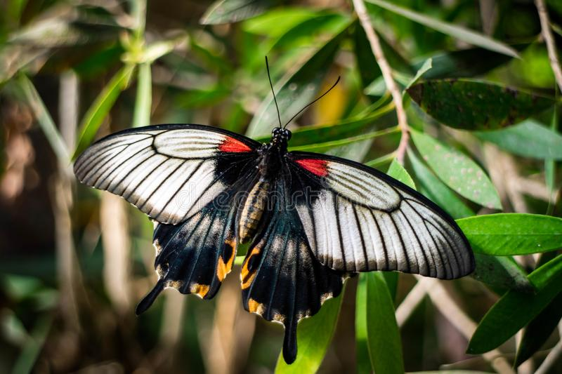 Red, black, and white butterfly on a green leaf. A red, black, and white butterfly sitting on a green leaf with open wings, and a blurred background royalty free stock images