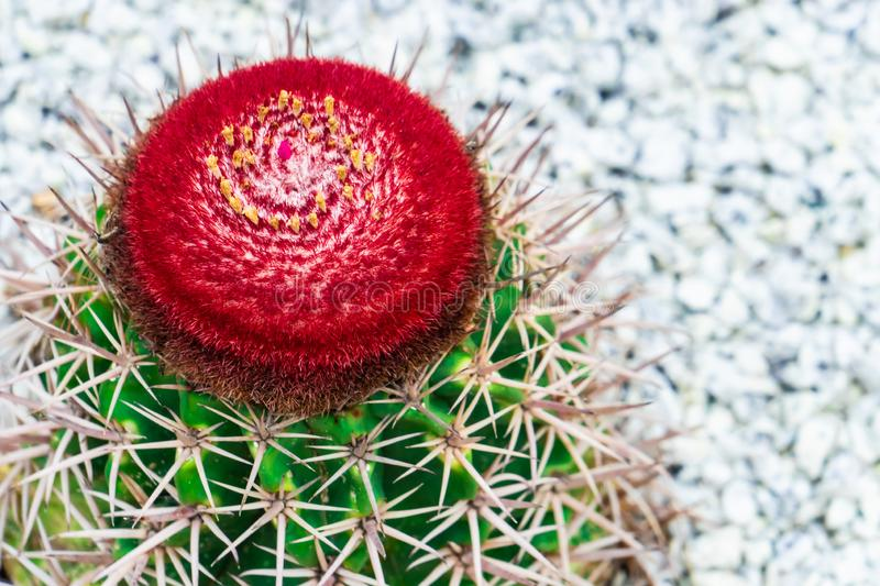 Red cactus flower on top of green cactus on rock garden stock images