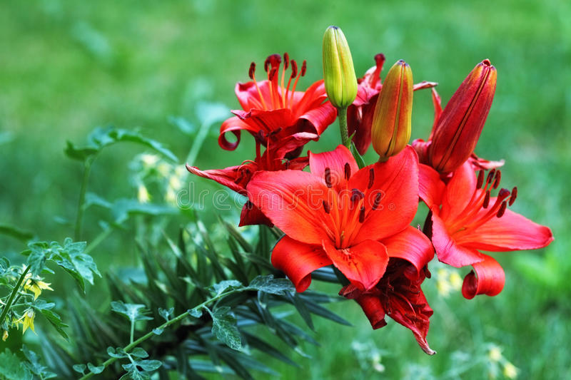 Red blooming lily flowers Lilium. Sp stock images