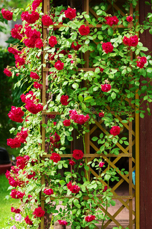 Red blooming ornamental flowers of climbing rose shrub covering the garden gazebo. Stegna, Pomerania, northern Poland royalty free stock photography