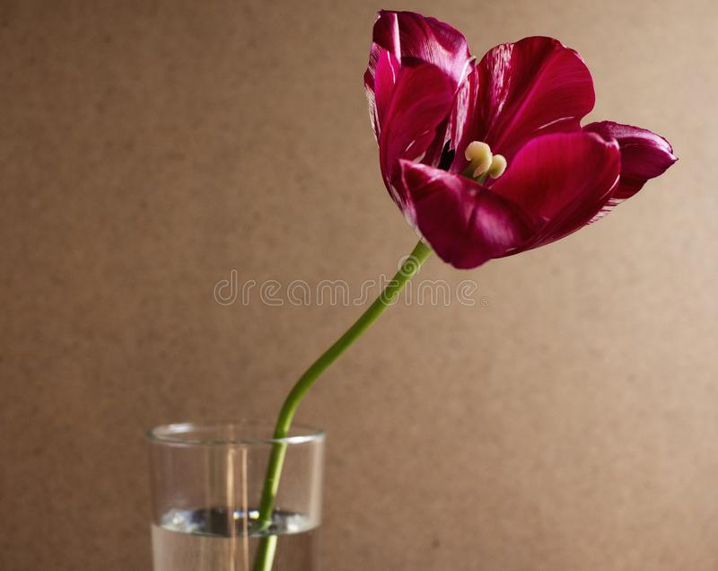 Red blooming tulip royalty free stock images