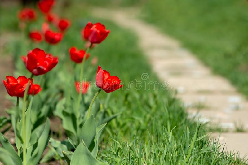 Red blooming tulips on the background of Green lawn. royalty free stock photos