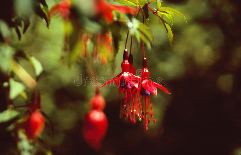Red blooms of fuchsia stock photos
