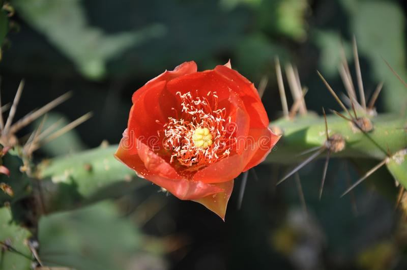 Red blossom flower on big green cactus stock images