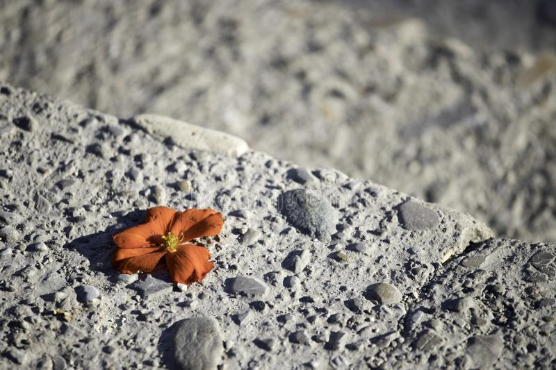 Red blossom on the stone floor. Innocent red blossom on the rough stone flower floor tender hard bloom flush beautiful text space blurred burry endearing lost stock photos