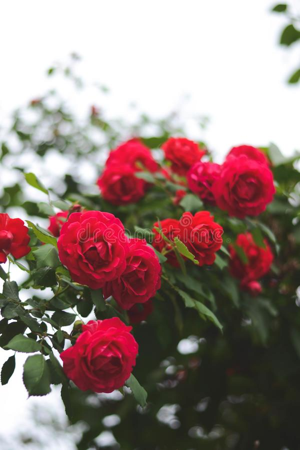 Blossomed roses. Red, blossomed roses in the summer. Retro styled photo royalty free stock photo