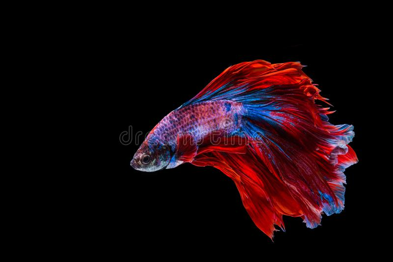 Red and blue betta fish royalty free stock photography