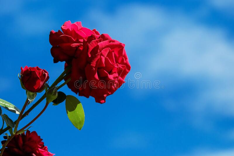 Red, Blue, Flower, Sky royalty free stock photos
