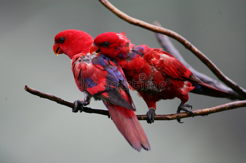 Red & Blue Lorikeet royalty free stock images