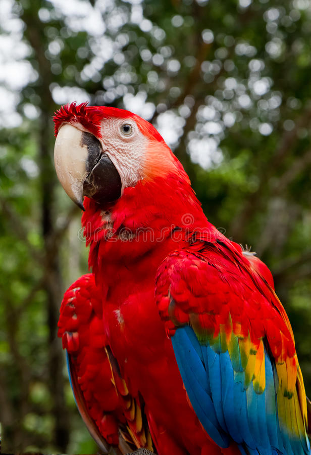 Red and blue macaw royalty free stock photography