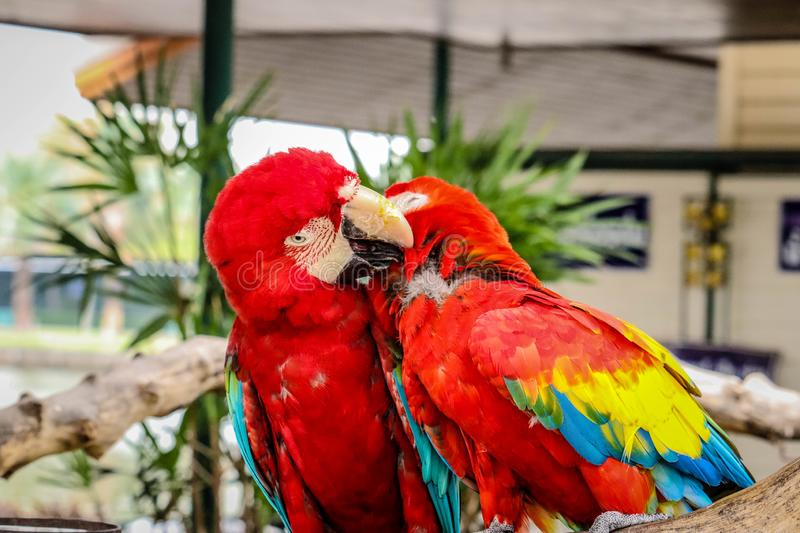 Red and Blue Macaw is cute stock images