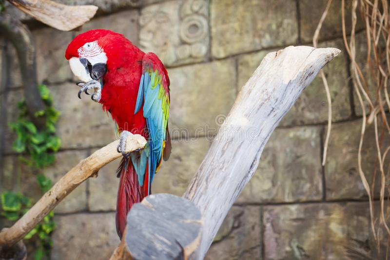Red and blue parrot macaw on branch of old tree. Ara ararauna, M. Acaw parrot royalty free stock photography