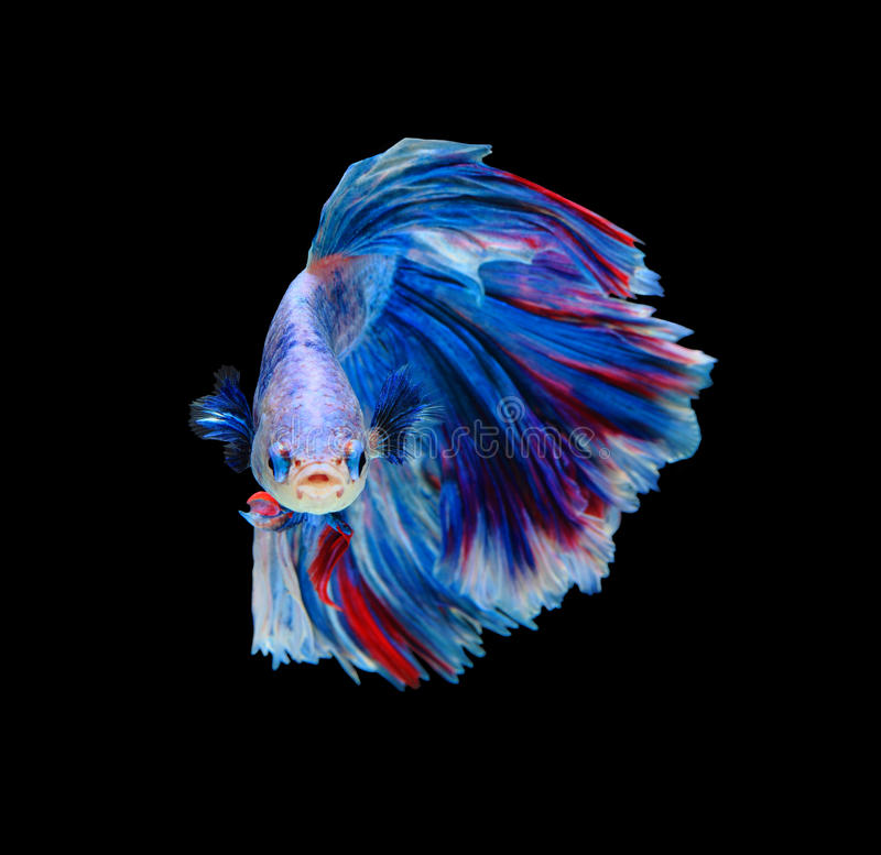 Red and blue siamese fighting fish betta fish isolated on for Black betta fish