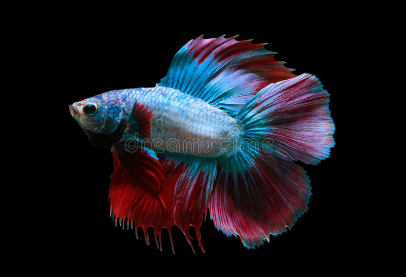 Red and blue siamese fighting fish royalty free stock images