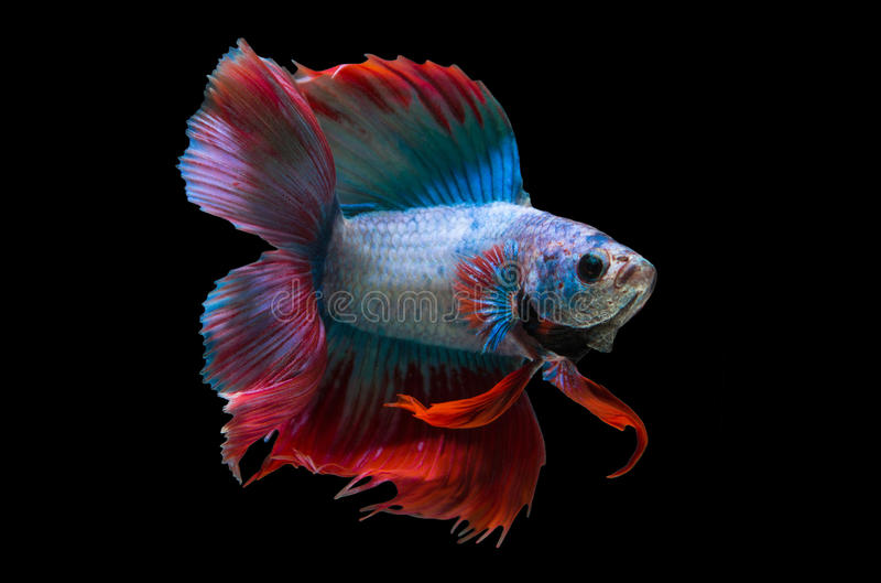Red and blue siamese fighting fish stock photos