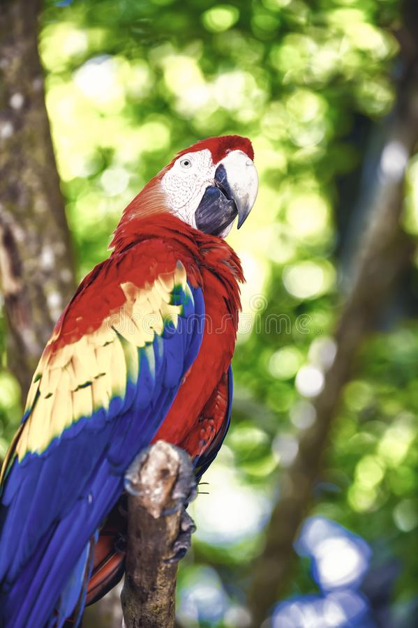 Red, blue, yellow ara parrot outdoor. Beautiful cute funny bird of red, blue, yellow feathered ara parrot outdoor on green natural background stock image