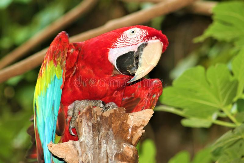 A red blue and yellow rainbow macaw parrot on a tree royalty free stock images
