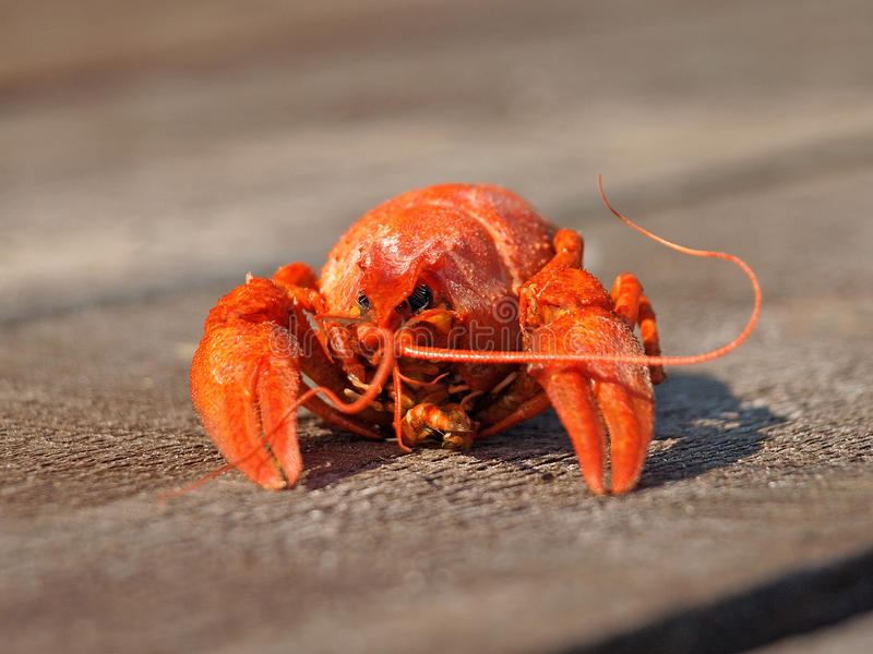 Red Boiled  Crawfish. Royalty Free Stock Photography