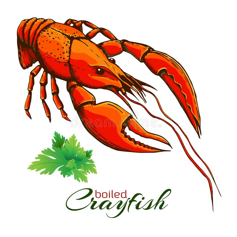 Red boiled crayfish. One boiled lobster with bunch of parsley isolated on white. Hand drawn vector vintage illustration of. Crayfish with parsley.engraved royalty free illustration