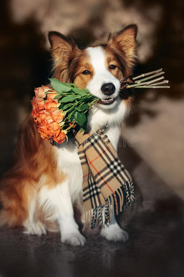 Red Border Collie dog holding a bouquet of flowers. In the autumn royalty free stock photo