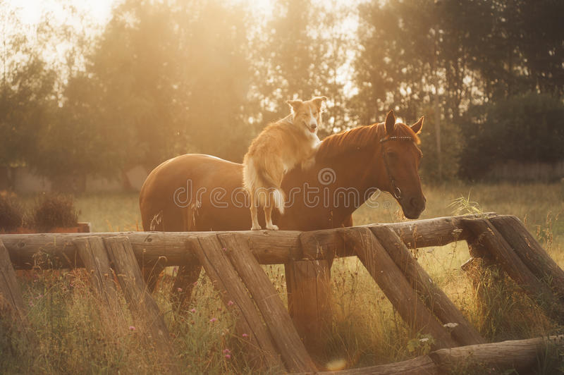 Red border collie dog and horse. Are friends at sunset in summer stock photography