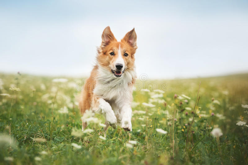 Red border collie dog running in a meadow stock photography