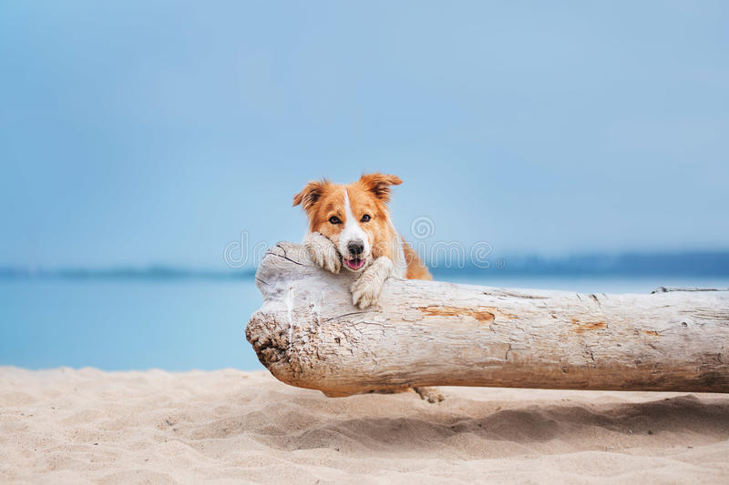 Red border collie running on a beach royalty free stock photography