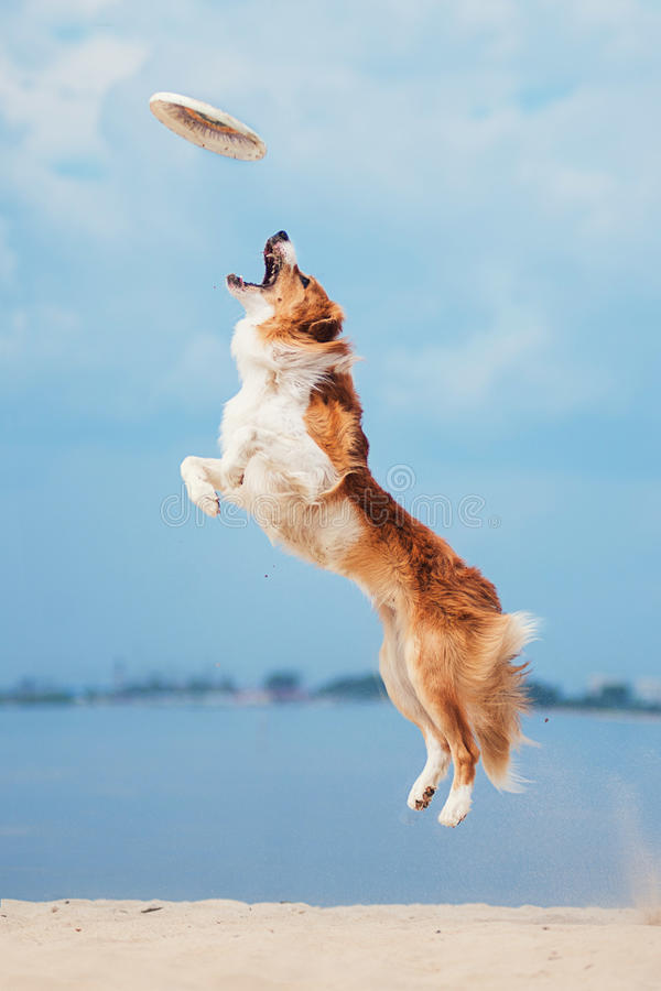 Red border collie running on a beach royalty free stock images