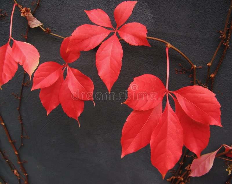 Red Boston Ivy leaves royalty free stock images