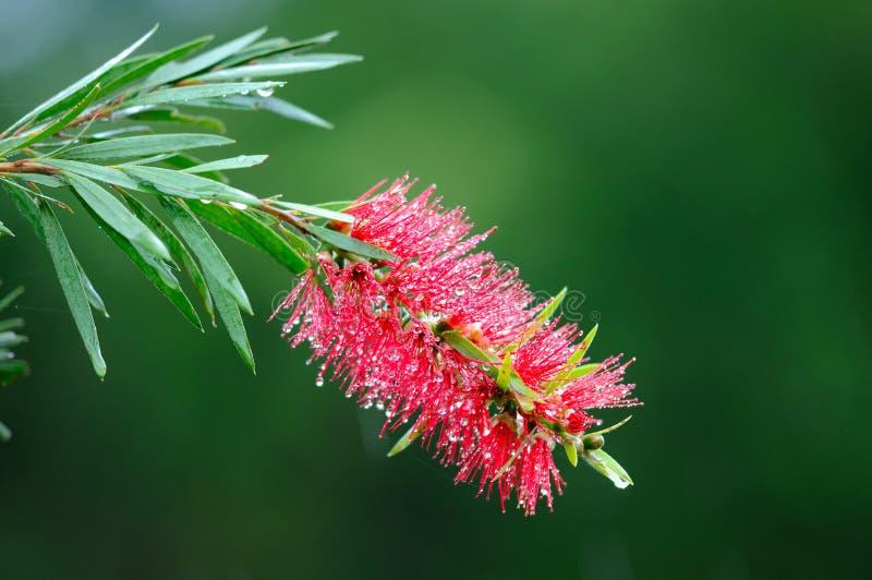 Red bottle-brush tree (Callistemon) flower stock photo