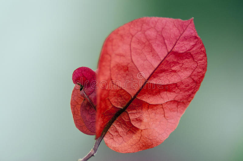 Red Bougainvillea flower royalty free stock photos
