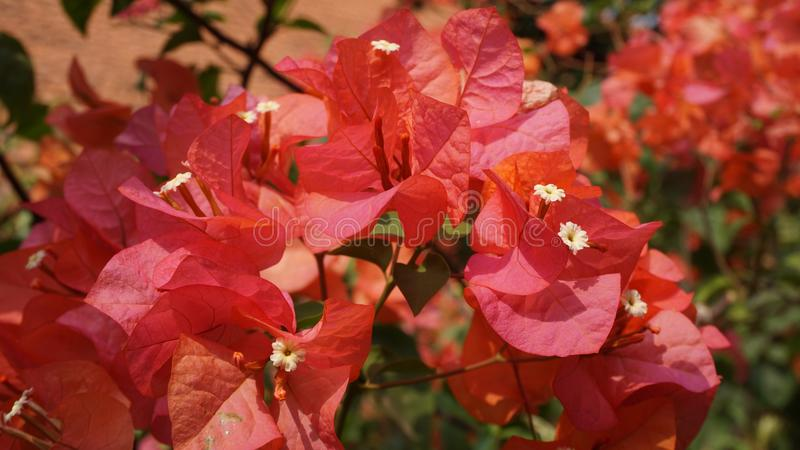 Red Bougainvillea flowers are in bloom stock photo