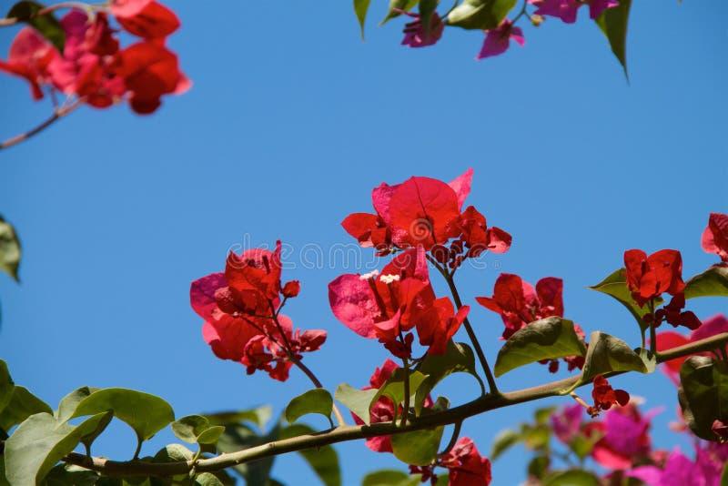 Bougainvillea flowers in garden stock image