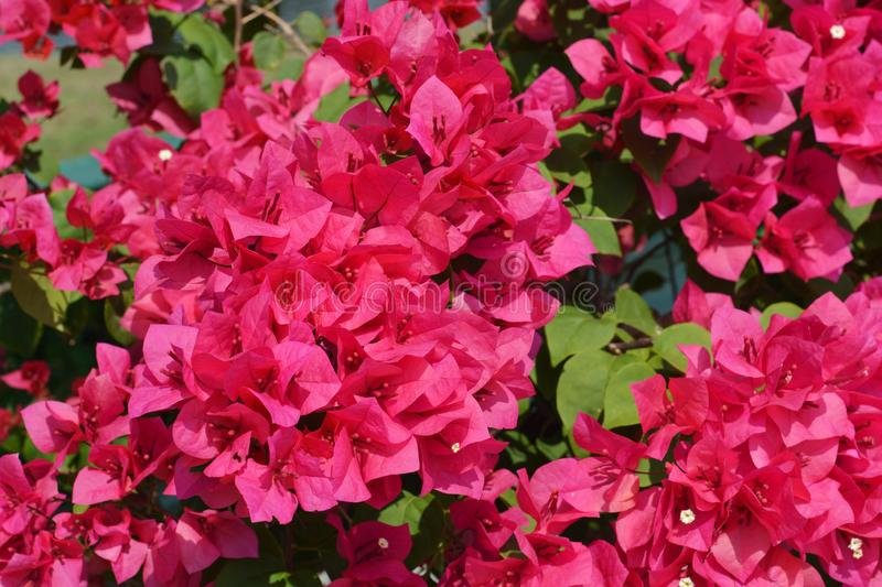 Red bougainvillea flowers in the  garden royalty free stock photos